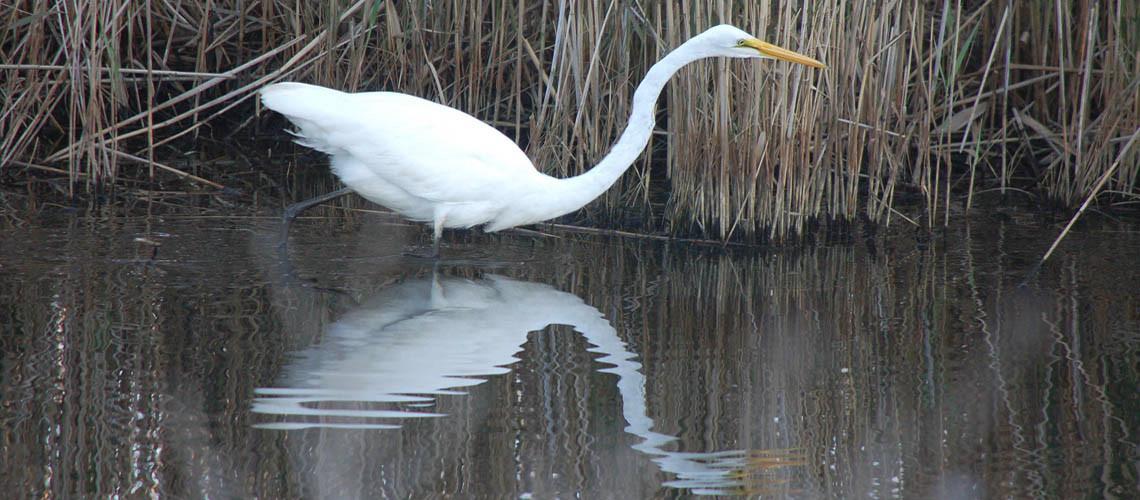 american egret slider
