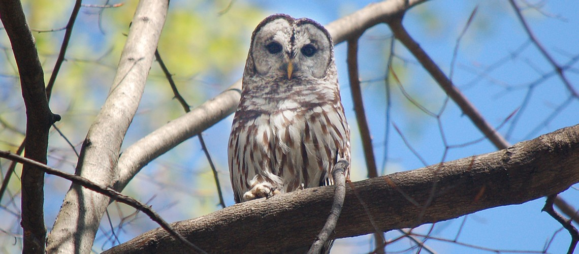barred owl slider