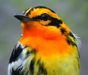 blackburnian_warbler