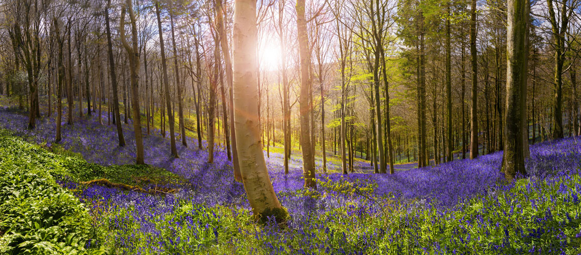 Sunlight illuminates peaceful bluebell woods