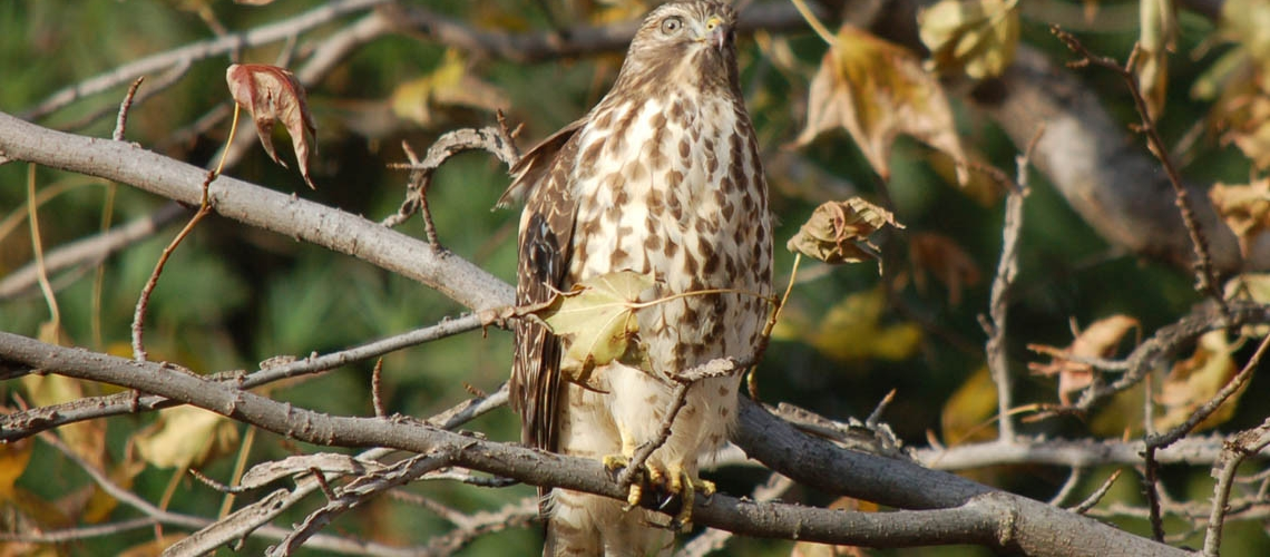coopers hawk slider