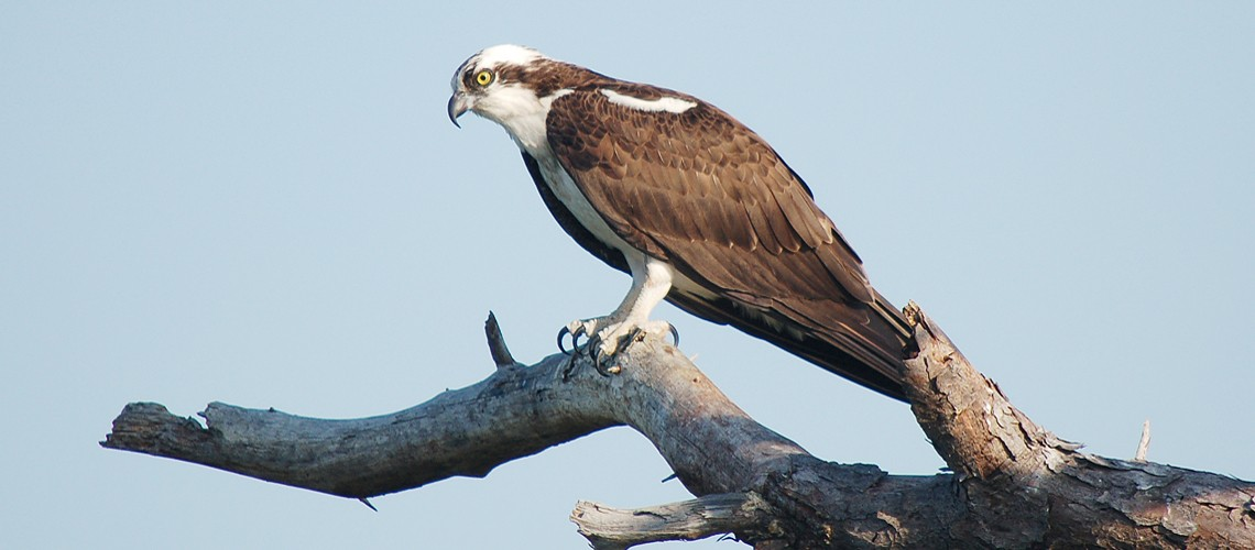 osprey_perching_slider
