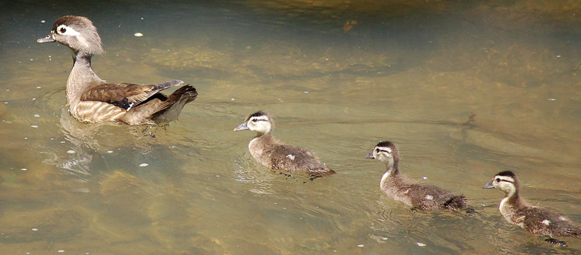 wood duck family home page