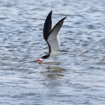 Black Skimmer skimming the water surface for food.