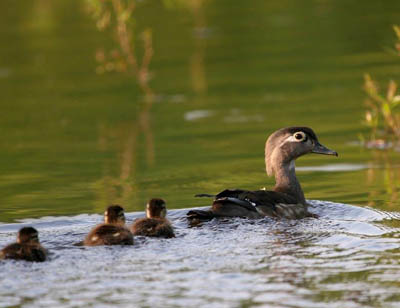 Female Wood Duck and ducklings