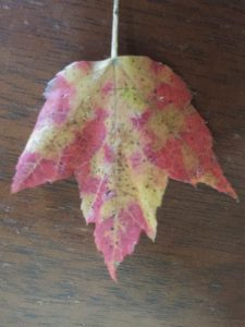 Uneven coloring on Red Maple leaf