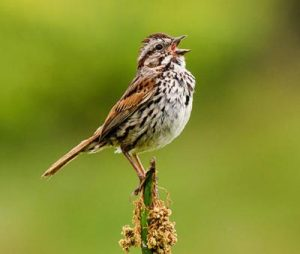 Image of Song Sparrow singing in Spring