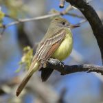 image of Great-crested Flycatcher