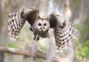 Image of Barred Owl in flight