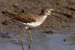 Image of Spotted Sandpiper