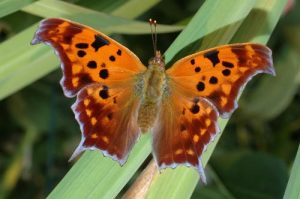 Image of Question Mark butterfly