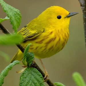 Image of Yellow Warbler