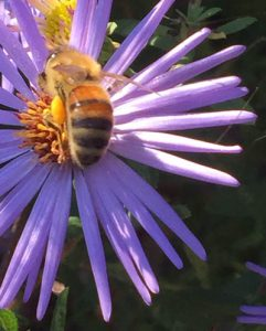 closeup image of bee on aster