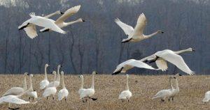 image of tundra swans