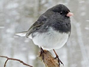 Image of Junco