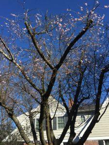 Image of Cherry trees