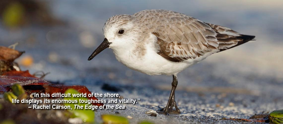 Sanderling foraging on a beach – Cedar Key, Florida