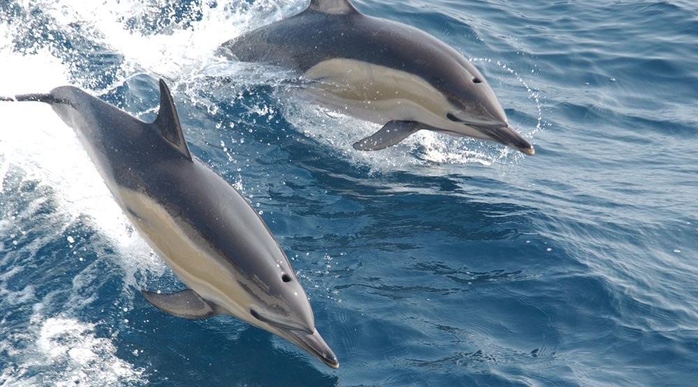 Image of Dolphins leaping in the ocean