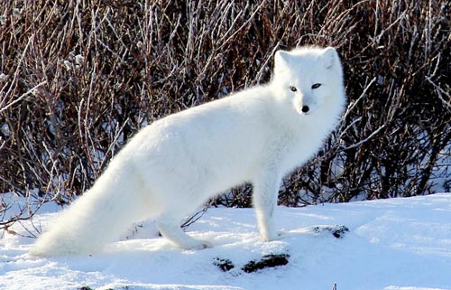 image of an Arctic Fox