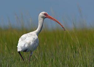 image of a White Ibis