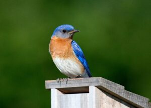 image of bluebird