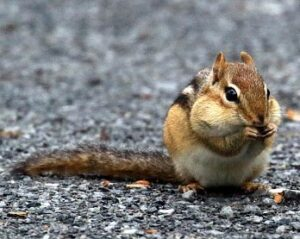 image of chipmunk