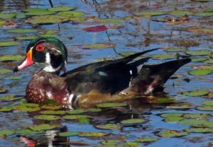 image of wood duck