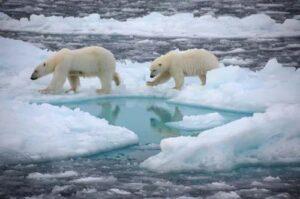 Image of polar bears in arctic ocean