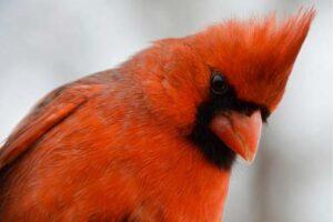 closeup image of cardinal