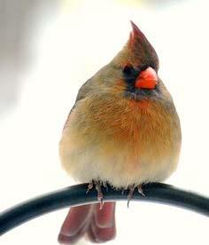 image of female cardinal