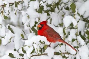 image of cardinal on snowy bush