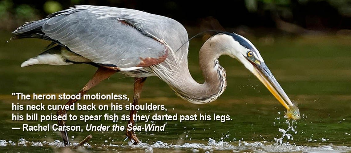 great blue heron slider