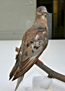 image of the last Passenger Pigeon bird name Martha