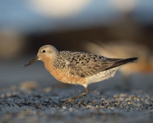 Image of a Red Knot bird